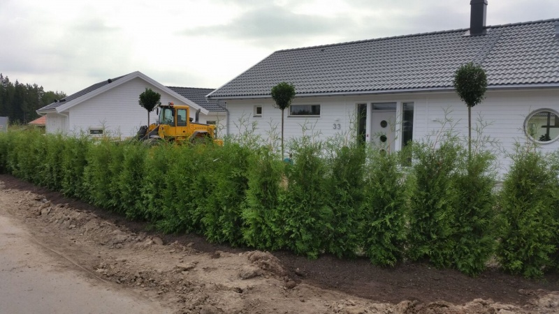 aronia häck plantavstånd