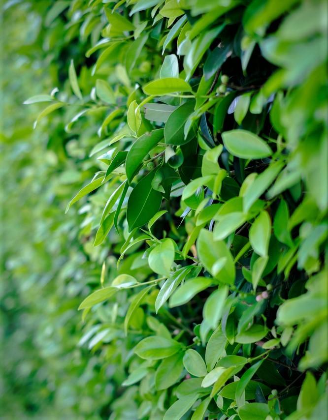 billiga snabbväxande buskar