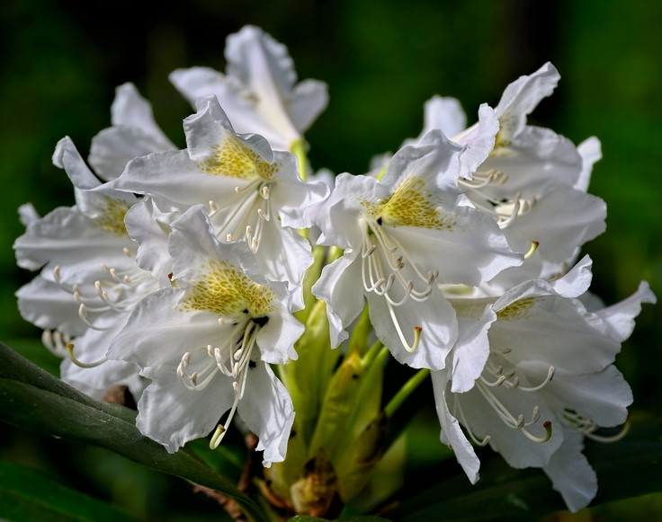 Rhododendron 'Cunningham's White' 40-50 cm 40-pack