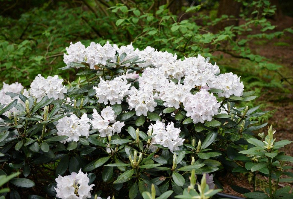 Rhododendron 'Cunningham's White' 40-50 cm