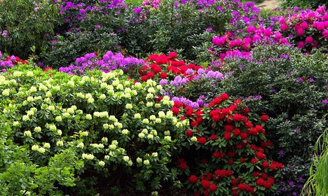Rhododendron Mix 40-50 cm 40-pack